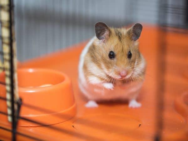 Gaiola para hamster: Qual a melhor de 2020?