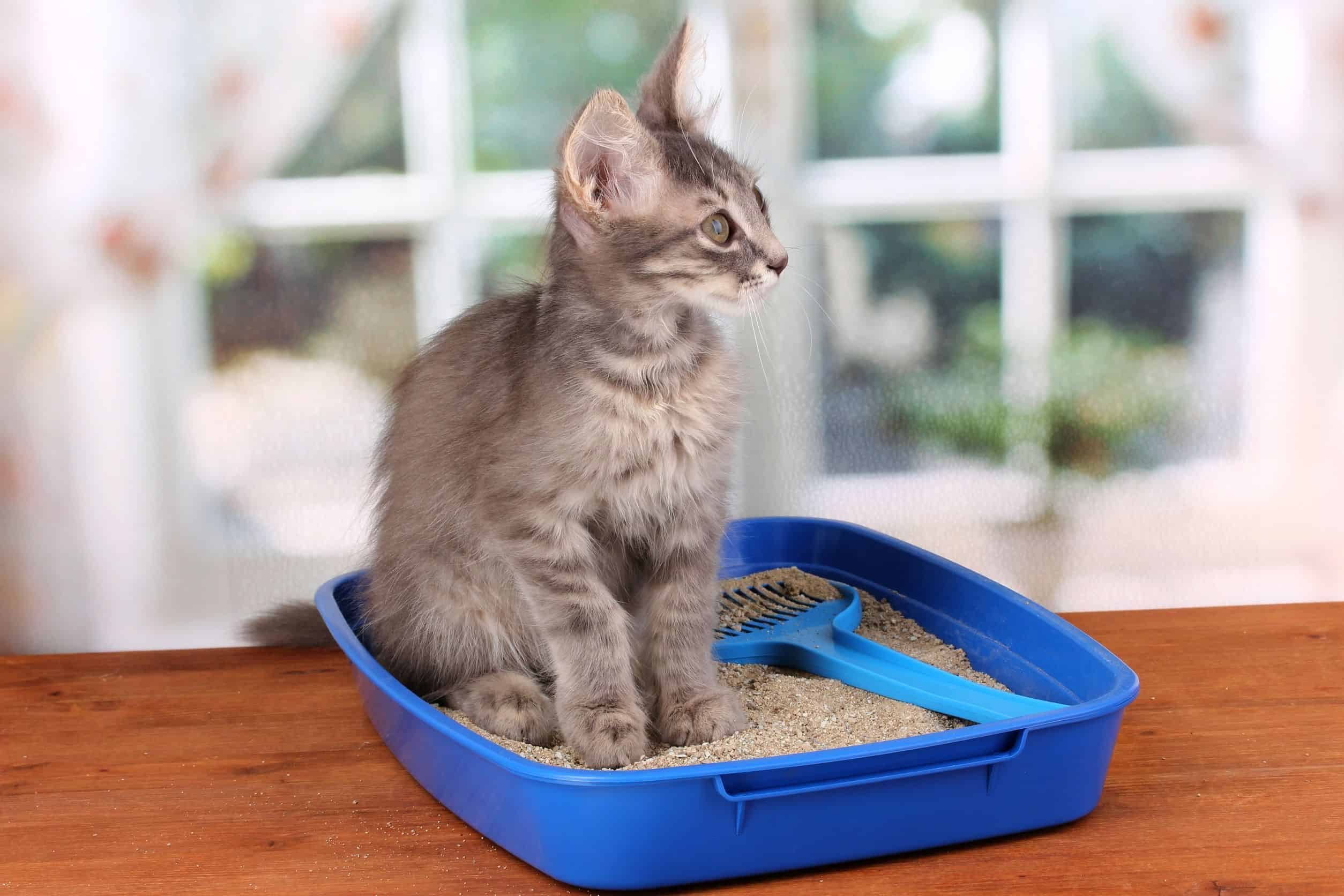 Areia para gatos: Qual é a melhor de 2021?