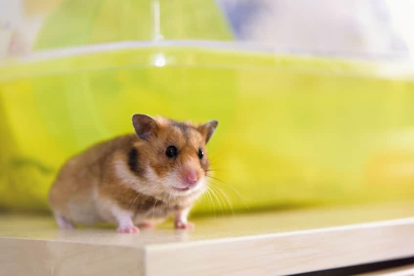 Imagem de hamster.