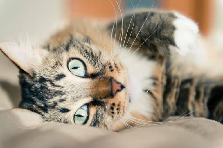 Gato colorido com olho azul.