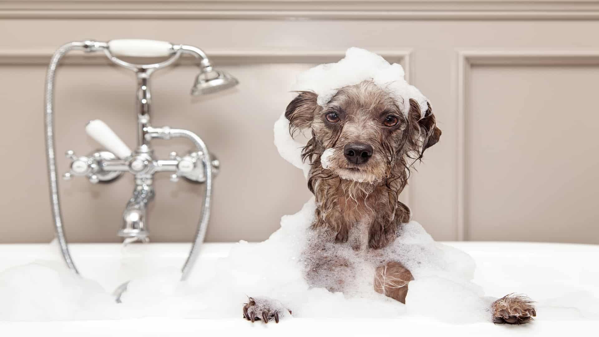 Shampoo para cachorro: Qual é o melhor de 2020?