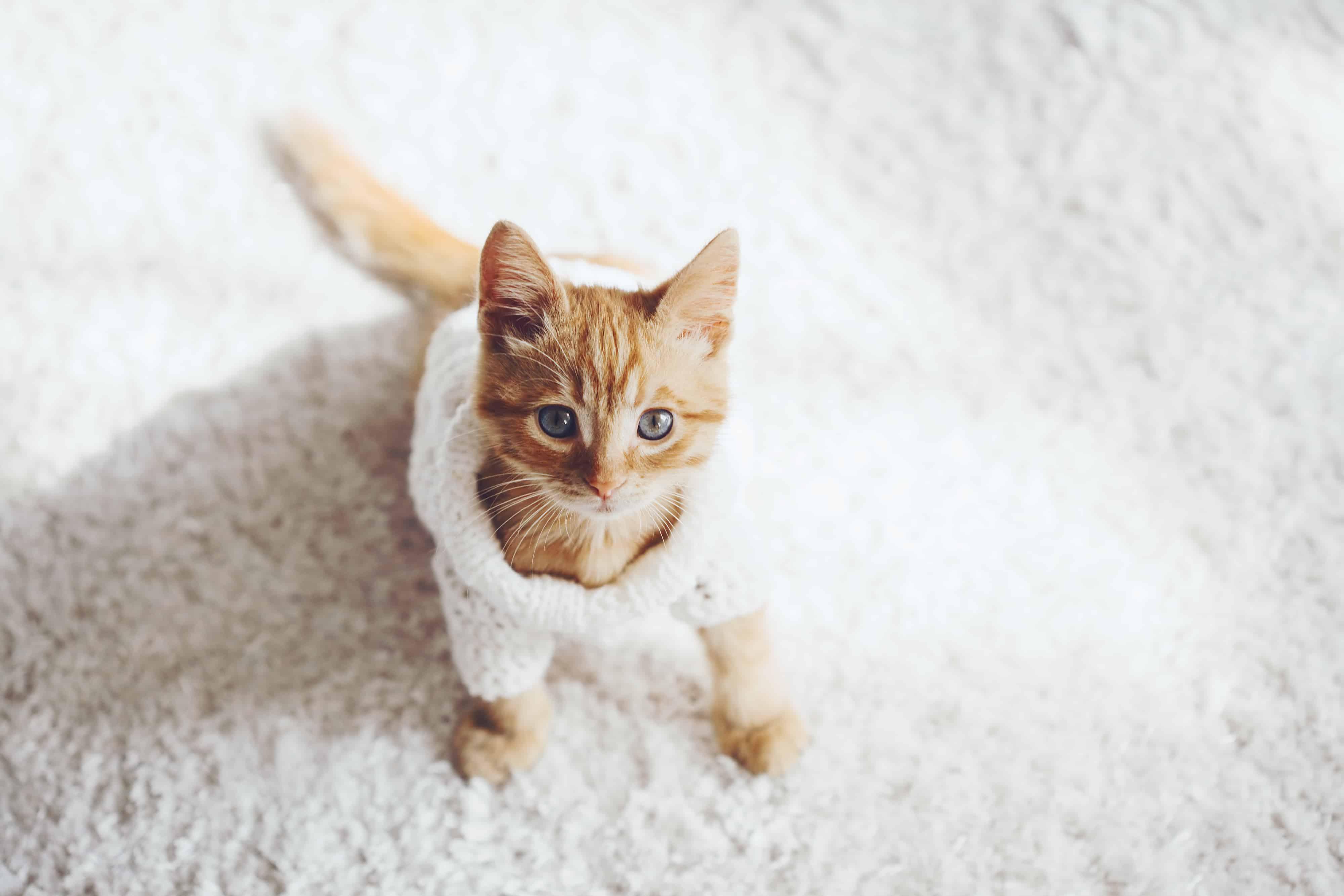 Imagem de gato amarelo.