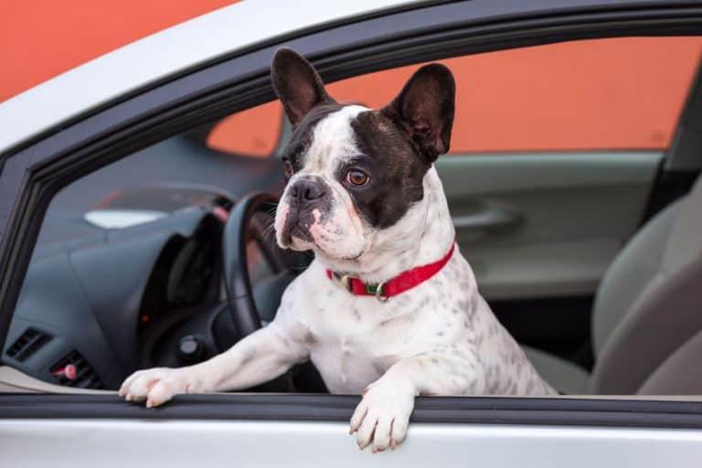 Perro en la ventana del coche.