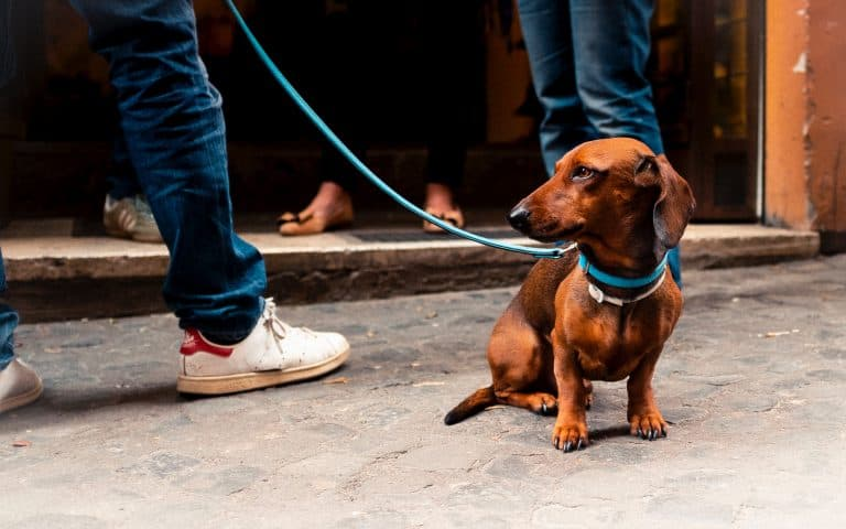 Cachorro marrom com coleira.