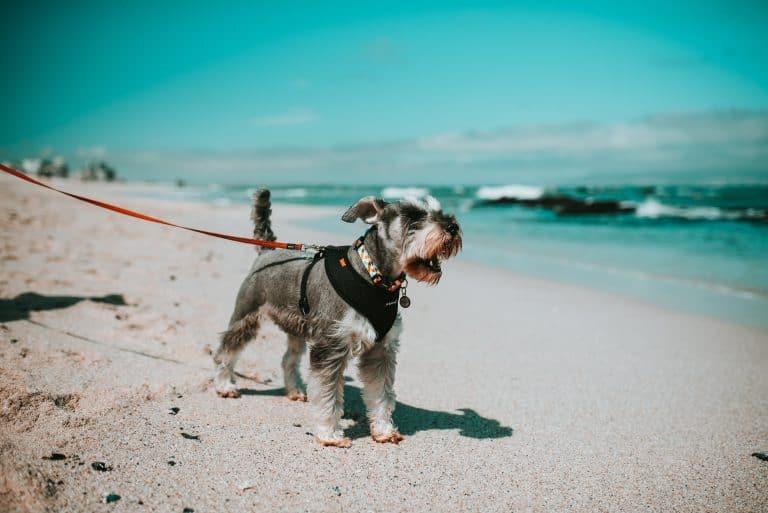Cachorro na praia com coleira.