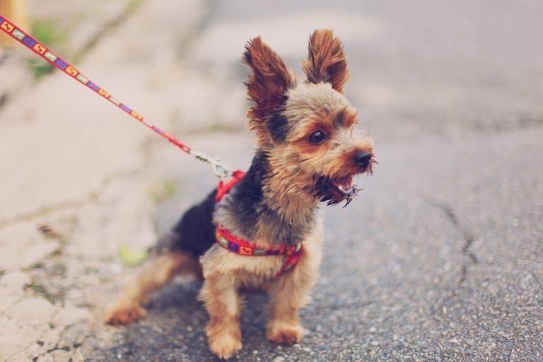 Cachorro pequeno com coleira.