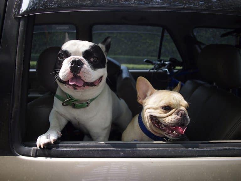 Perros paseando en coche.