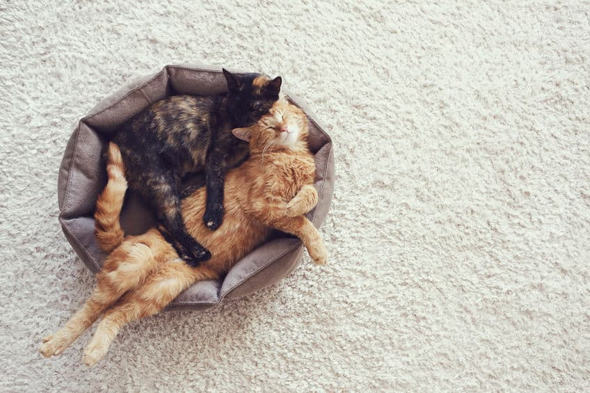 Imagem de gatos compartilhando cama.