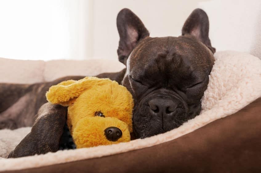 Imagem de cachorro dormindo em sua cama com urso de pelúcia.