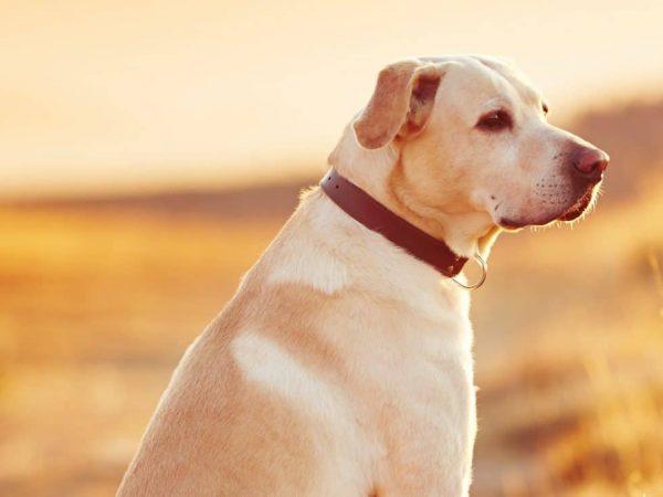 Imagem de cachorro com coleira.