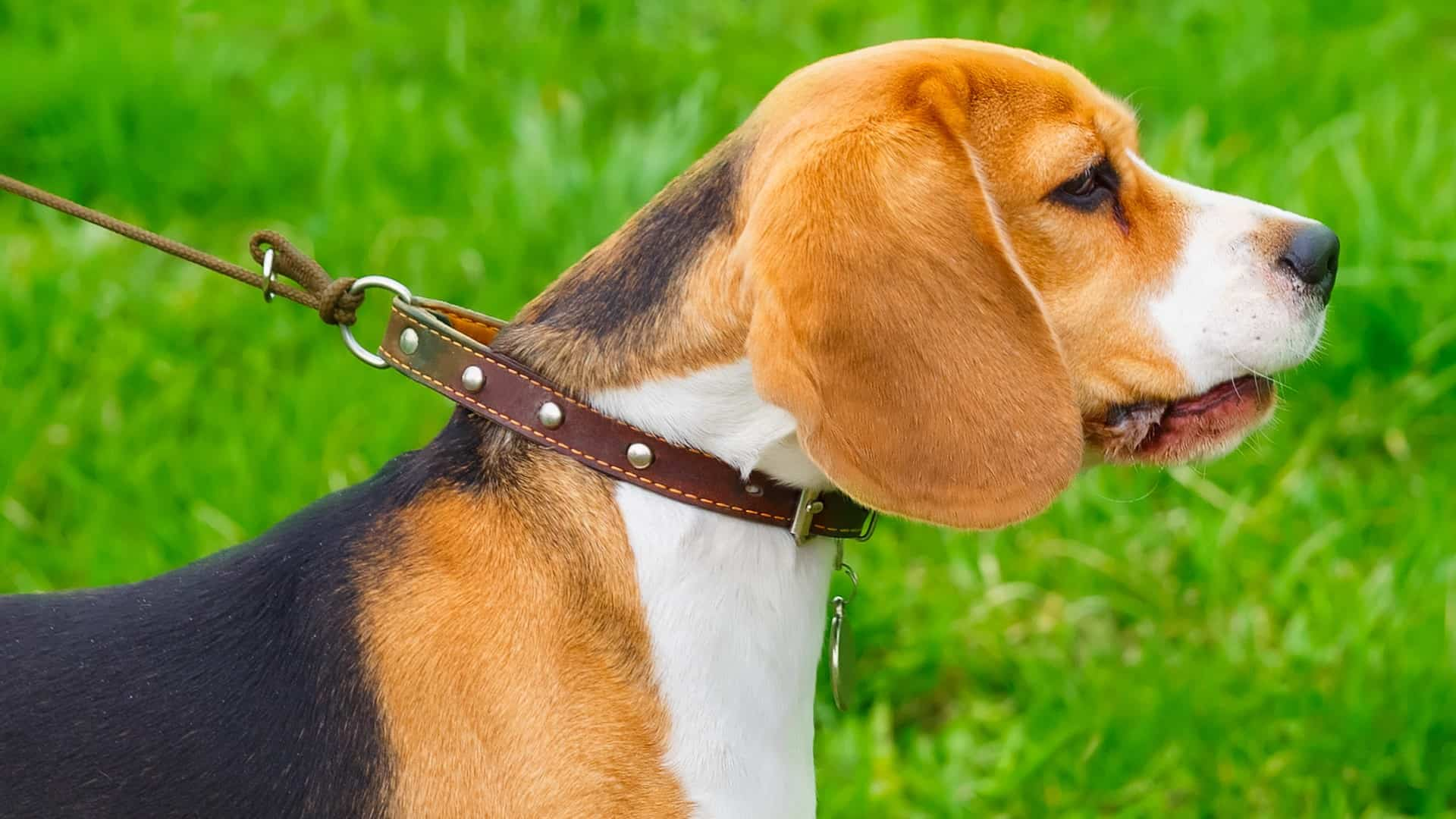 Image of dog with collar.