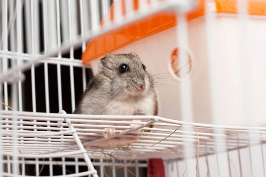 Imagem de hamster cinza em gaiola.