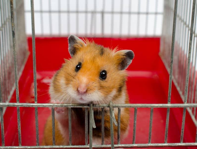 Imagem de hamster apoiado em gaiola.