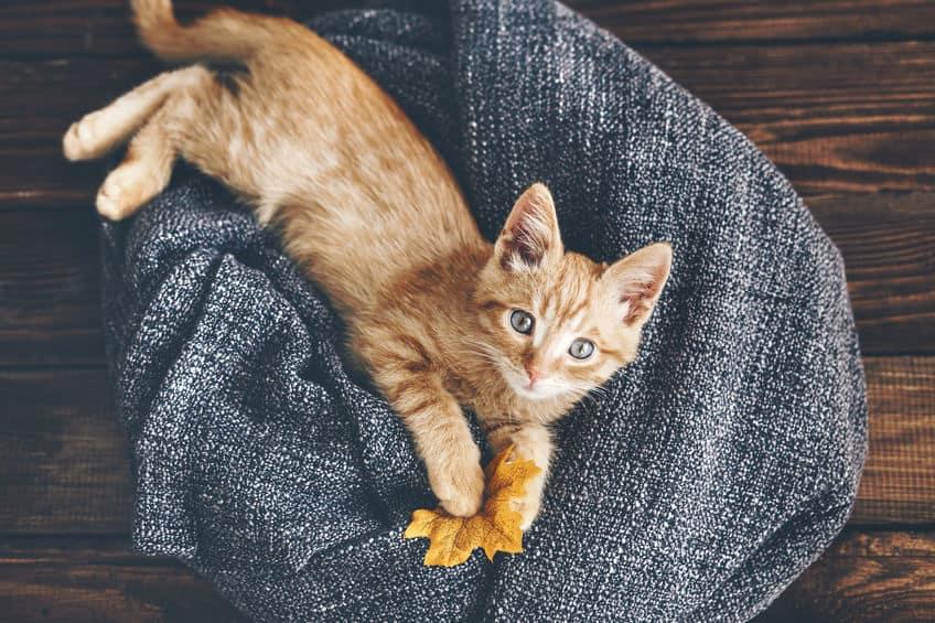 Imagem de gato amarelo sobre almofada segurando folha.