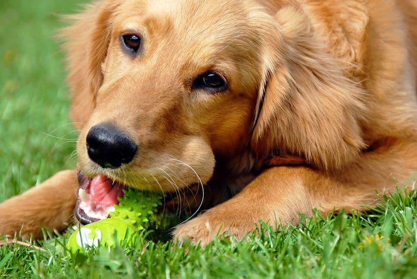 Imagem de cachorro deitado e brinquedo.