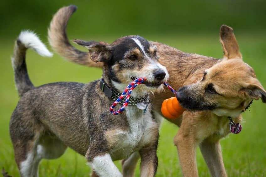 Dois cachorros brincando com brinquedo.