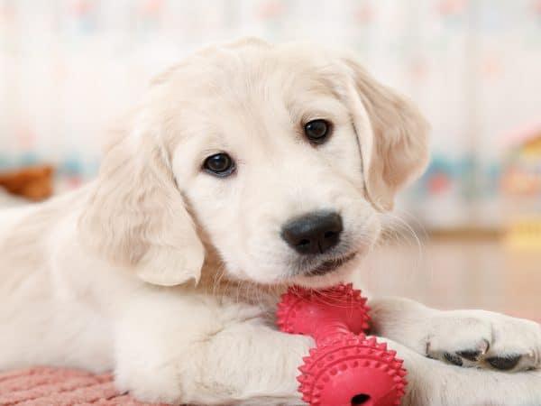 Imagem de cachorro com brinquedo.
