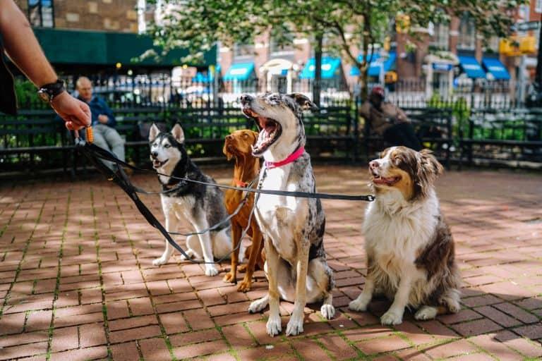 Passeando com cachorros.