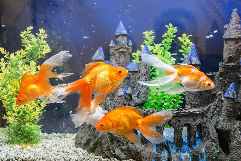Imagem de peixes dourados em aquário.