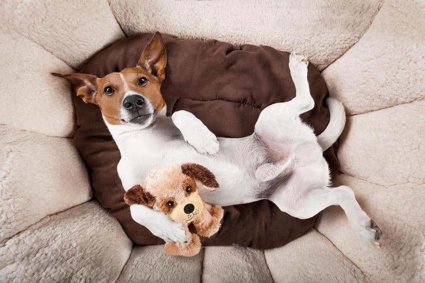 Imagem de cachorro em cama com ursinho de pelúcia de cachorro.