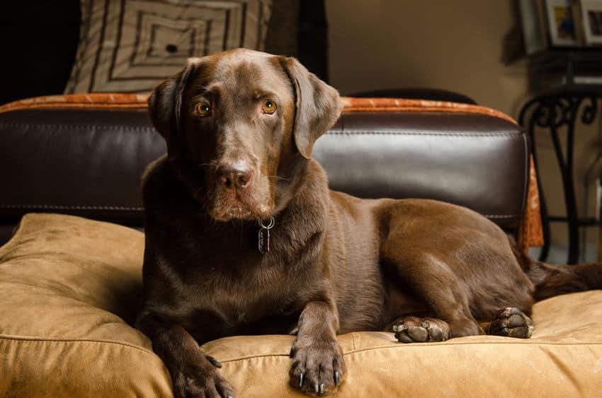Cachorro marrom grande em sua cama.