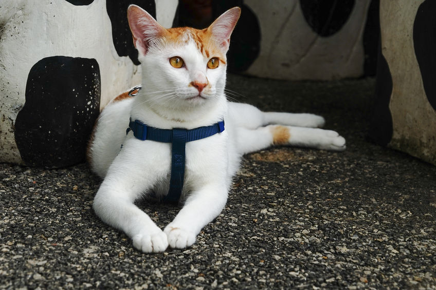 White cat with a harness
