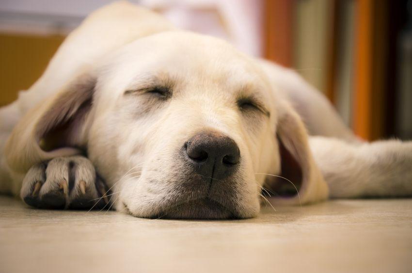 cachorro grande dormindo