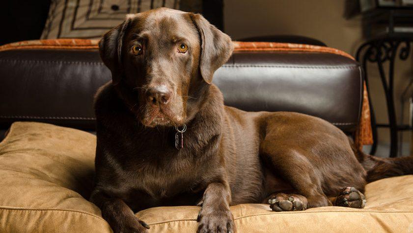 cachorro grande em sua cama
