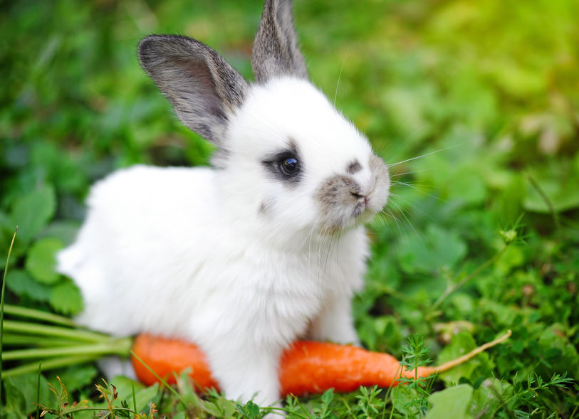 white little rabbit with a carrot