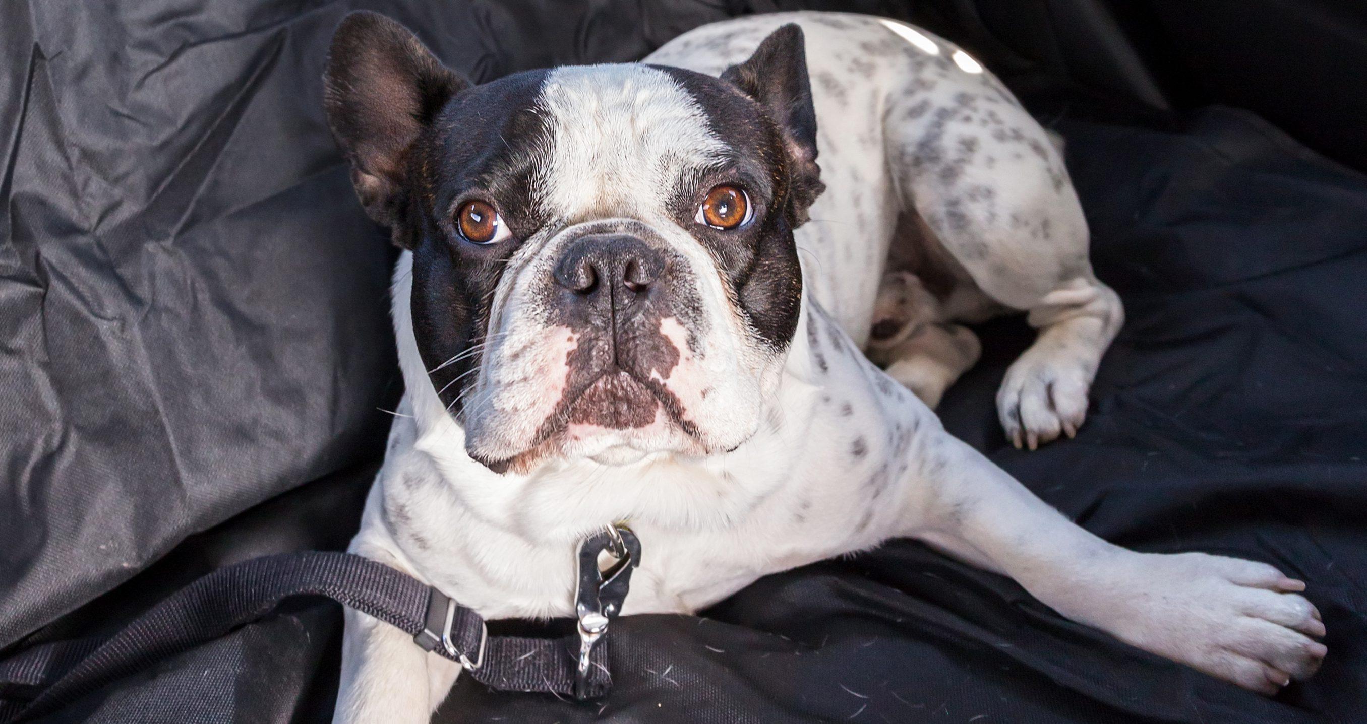 Perro en asiento