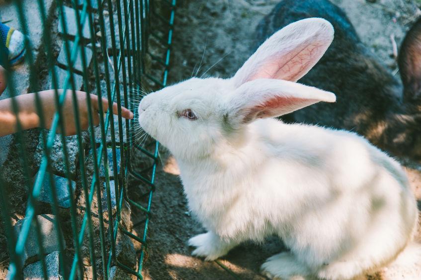coelho branco na gaiola