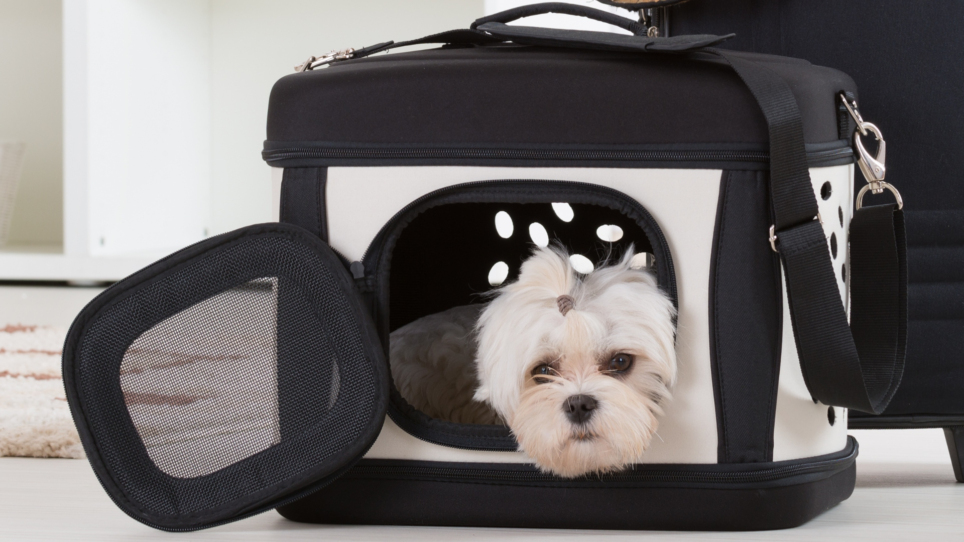 Small dog maltese sitting in his transporter or bag and waiting for a trip