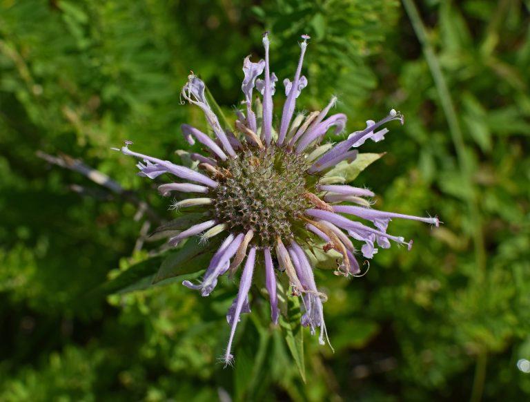 flor de bergamota